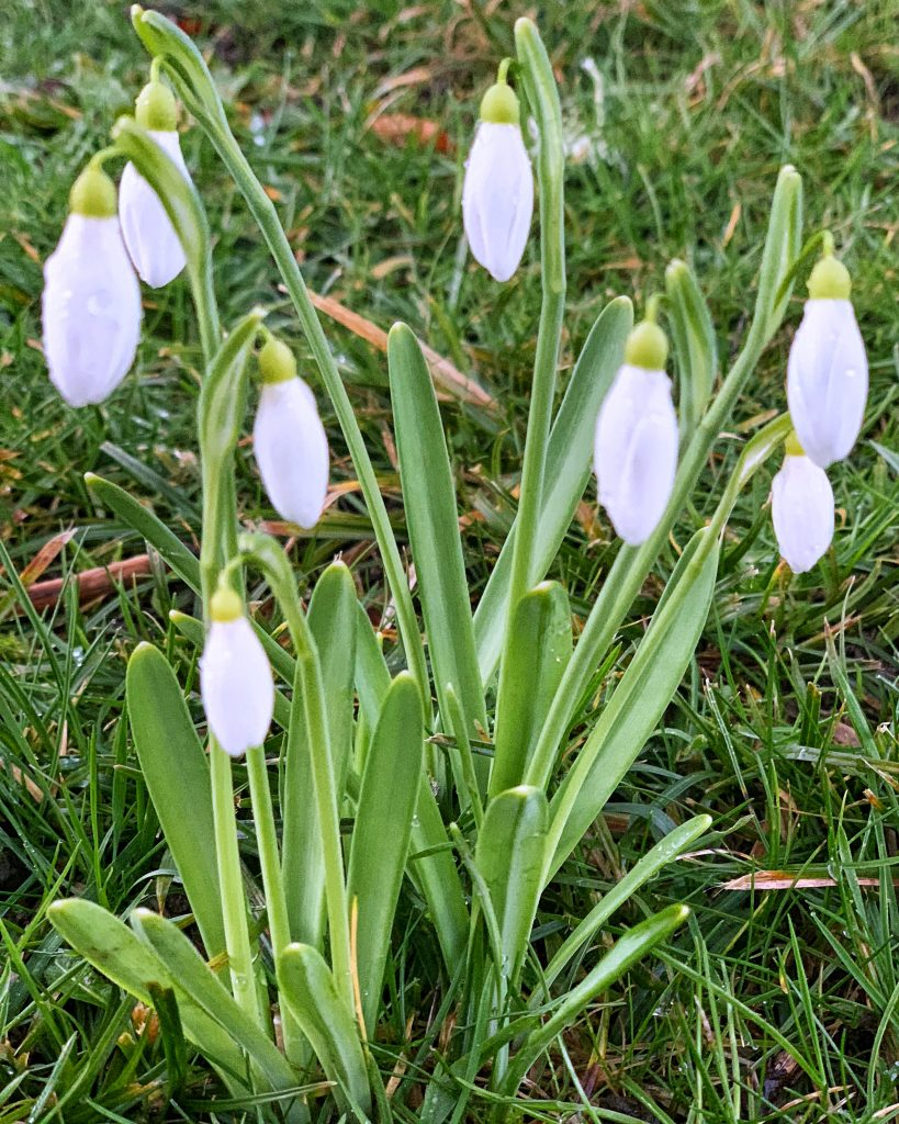 History of the Snowdrop (Galanthus Nivalis) in Britain
