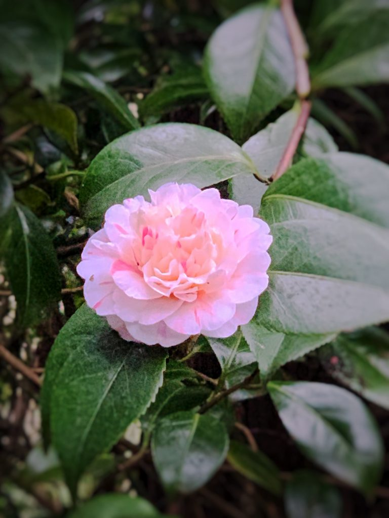 Pink Camellia surrounded by greenery: guide to a late winter garden in England