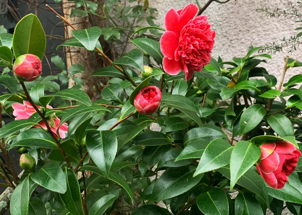 Red Cammelia Japonica in Late Winter Garden