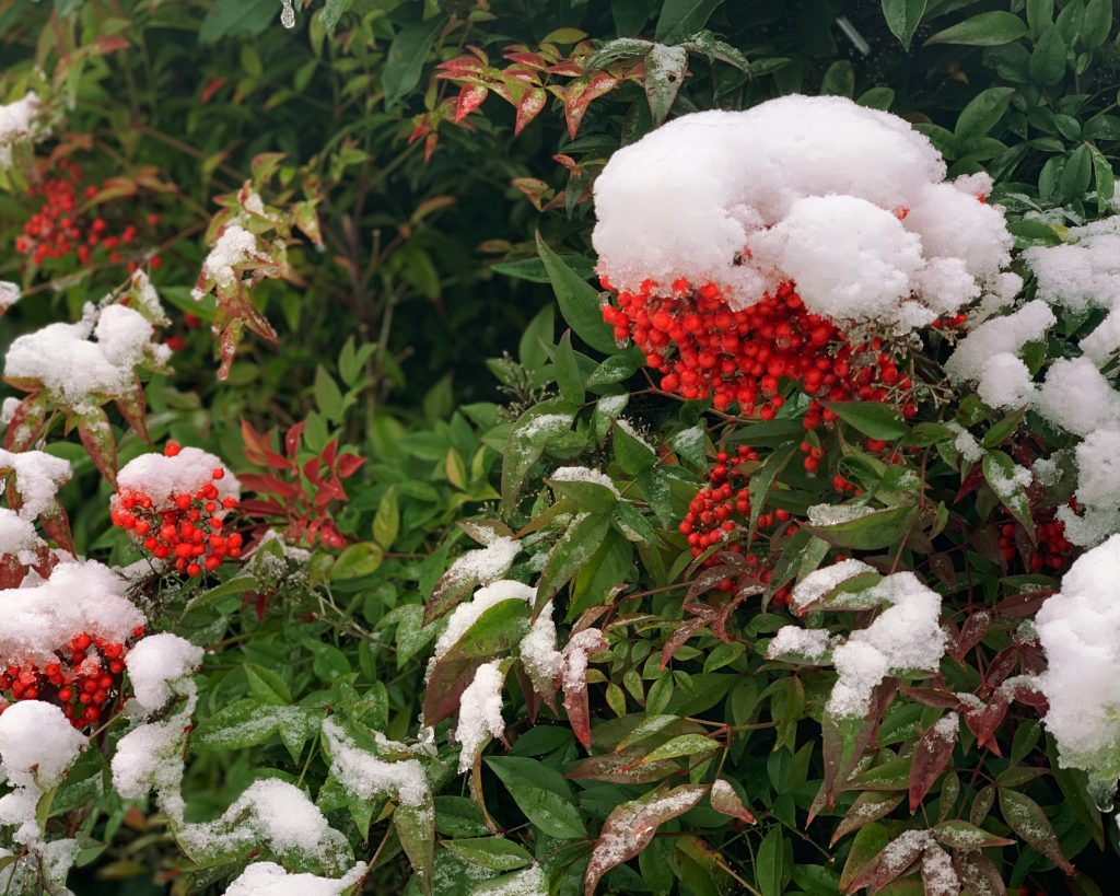 Nandina Domestica 'compacta' crimson berries covered in snow in late winter garden