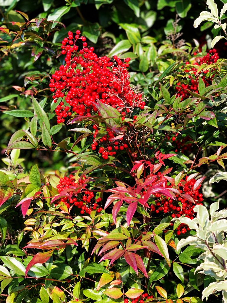 Nandina Domestica 'compacta' red berries and bronze green foliage