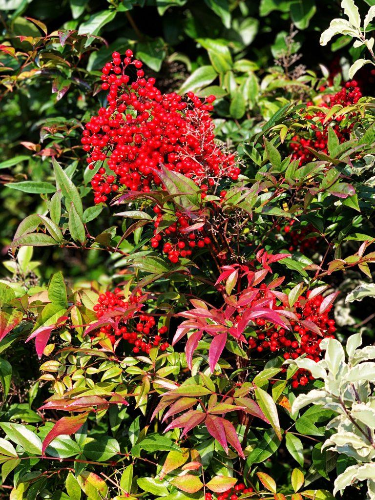 Nandina Domestica 'compacta' red berries and bronze green foliage