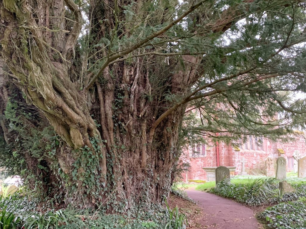 Detail of one of the oldest yew trees in Britain at the Church of St Andrew, Kenn, Devon