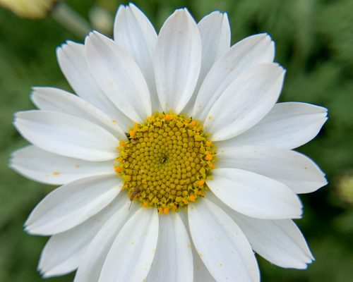Flower head of Sicilian Chamomile (Anthemis cupaniana)