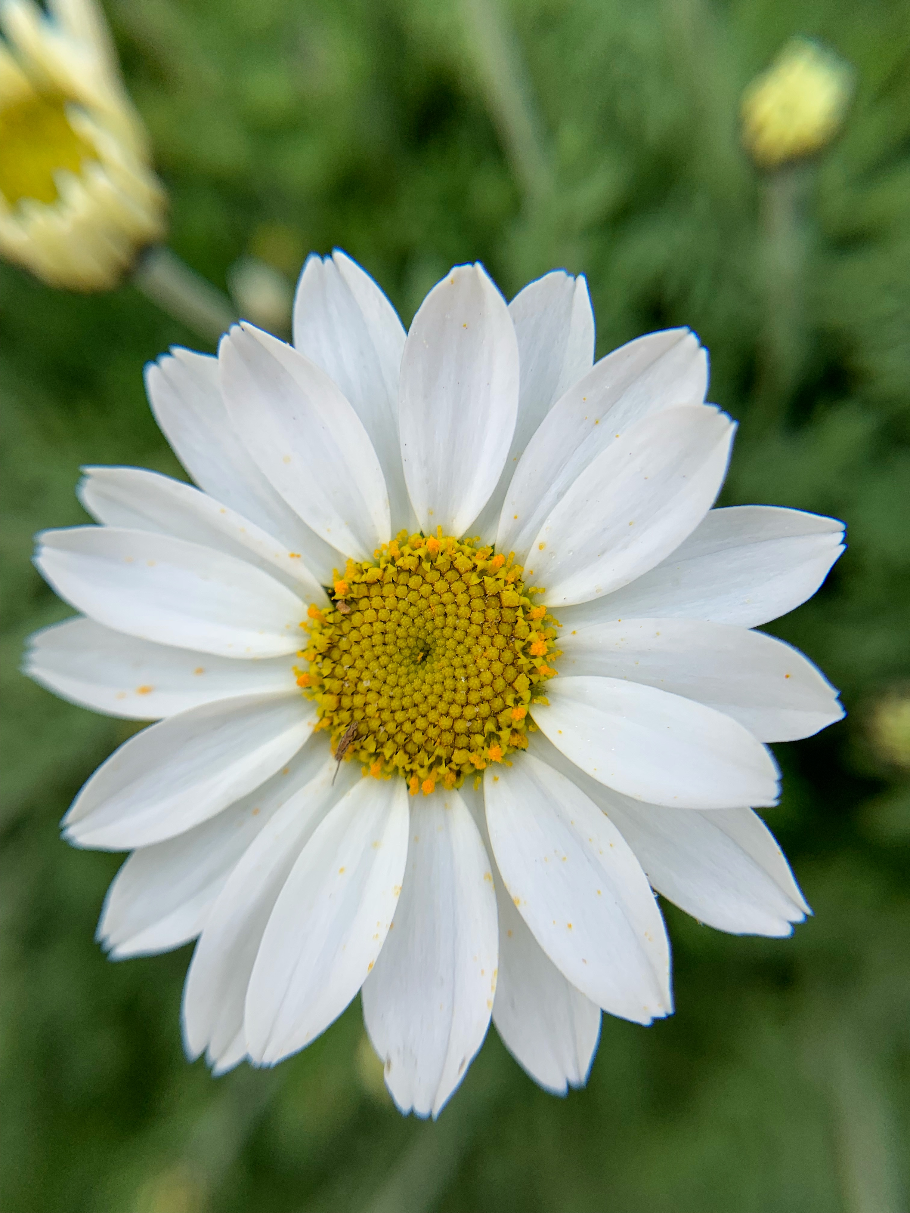 A Drought Tolerant Plant: Sicilian Chamomile (Anthemis Cupaniana)