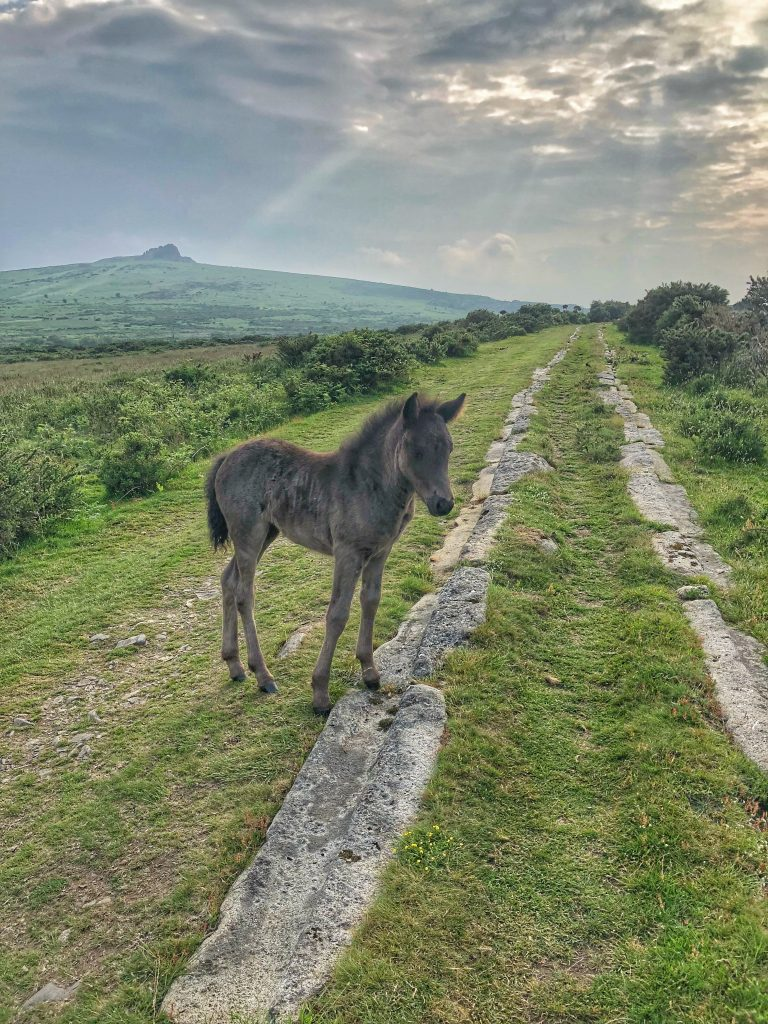 Young foal with Haytor in the background