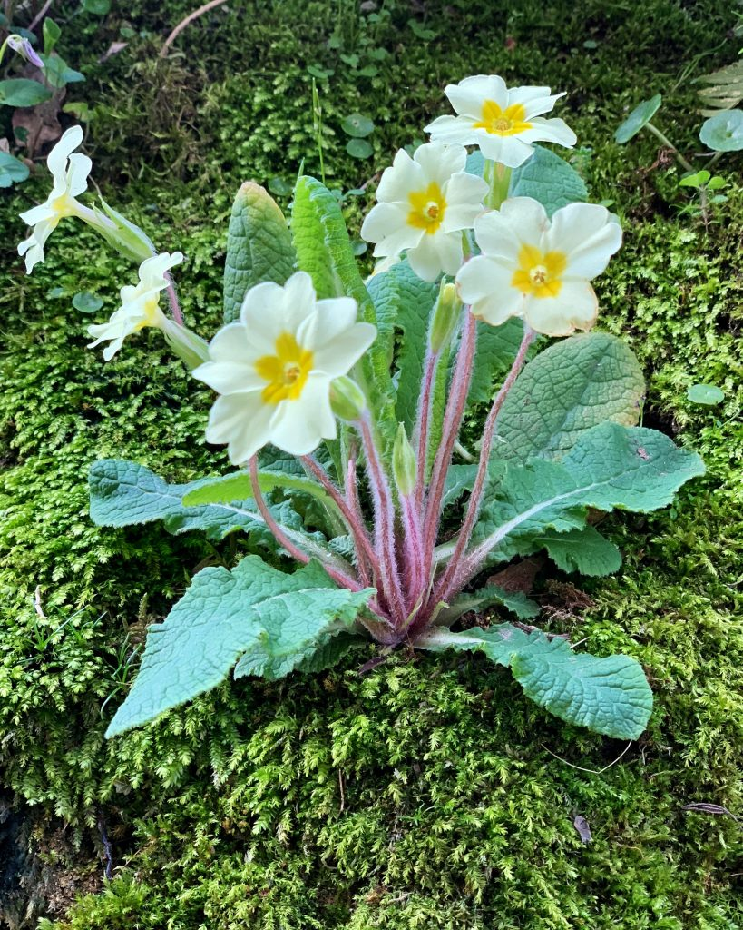 Primula Vulgaris otherwise known as the Common Primrose
