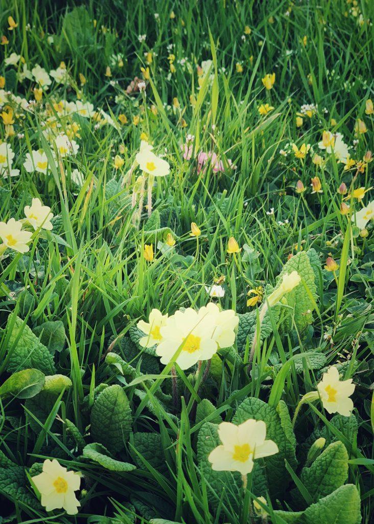 Primroses in long grass