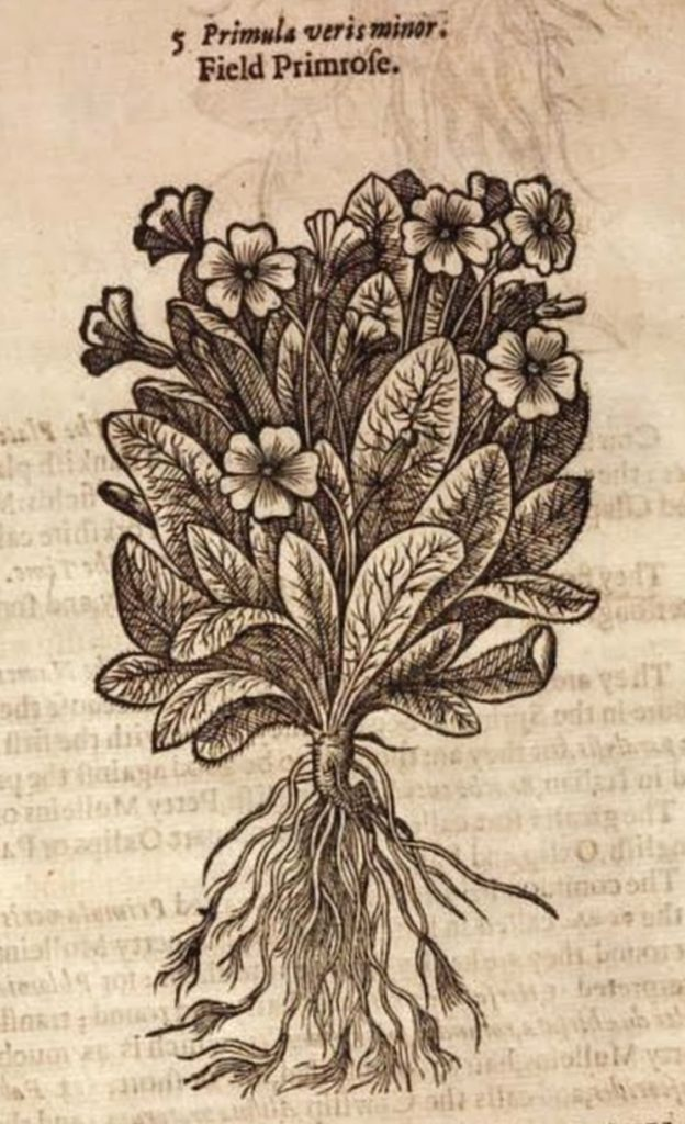 Engraving of a primrose planrt from John Gerard's Generall Historie of Plantes or Herball of 1597