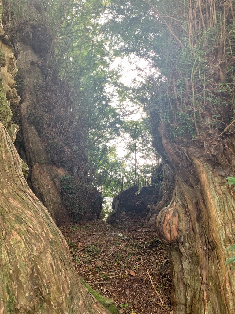 Interior of the Ancient Yew Tree in the Churchyard of St. Andrew's at Kenn, near Exeter, Devon