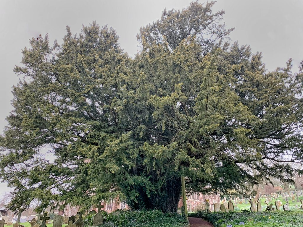 One of the oldest yew trees in Britain at the Church of St Andrew, Kenn, Devon