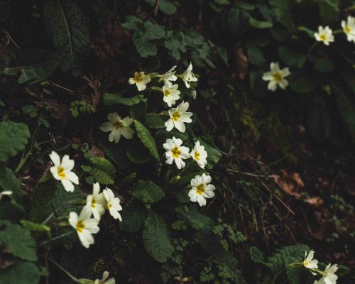 The Dainty Flower of Devon: Primula Vulgaris (the Common Primrose)