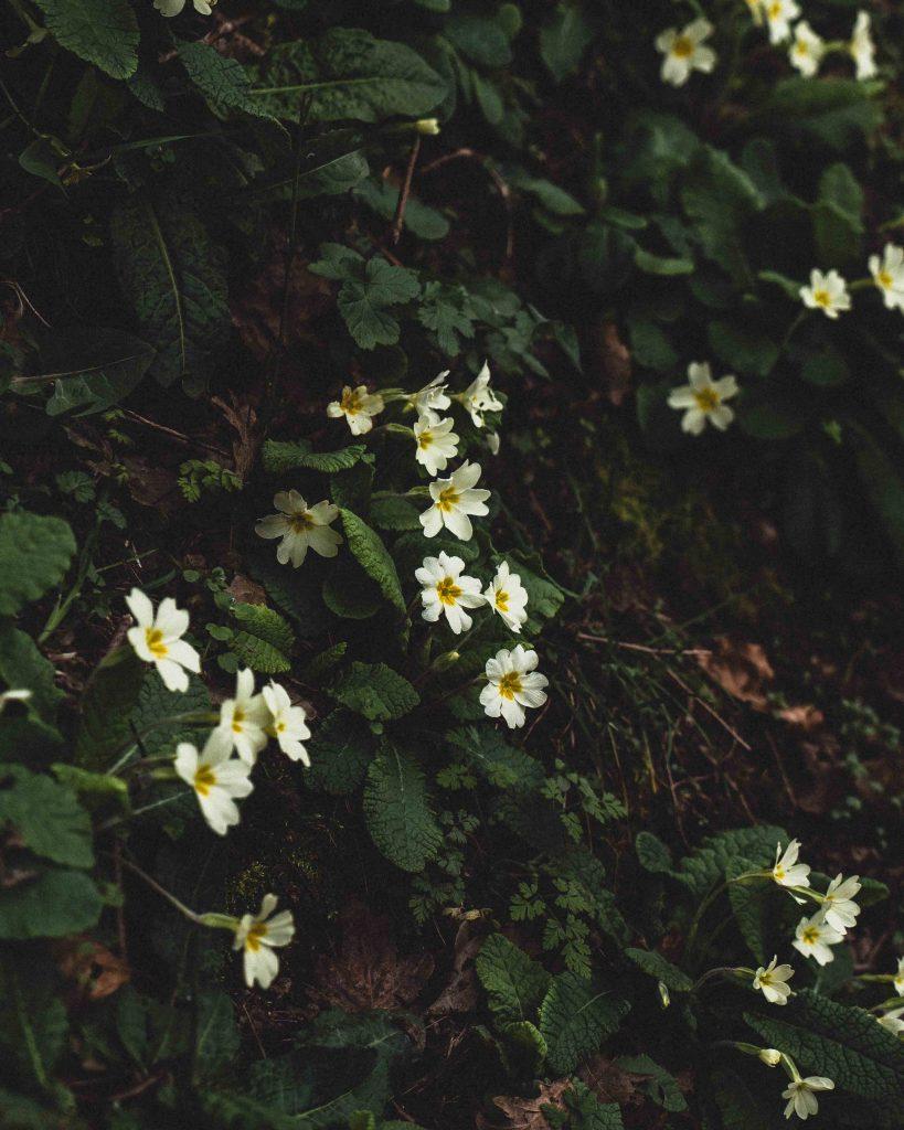 The Dainty Flower of Devon: Primula Vulgaris (the Common Primrose)