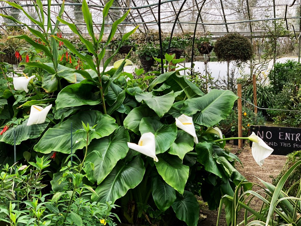 Enormous Arum Lily in Greenhouse at Hill House Nursery, Landscove, Devon
