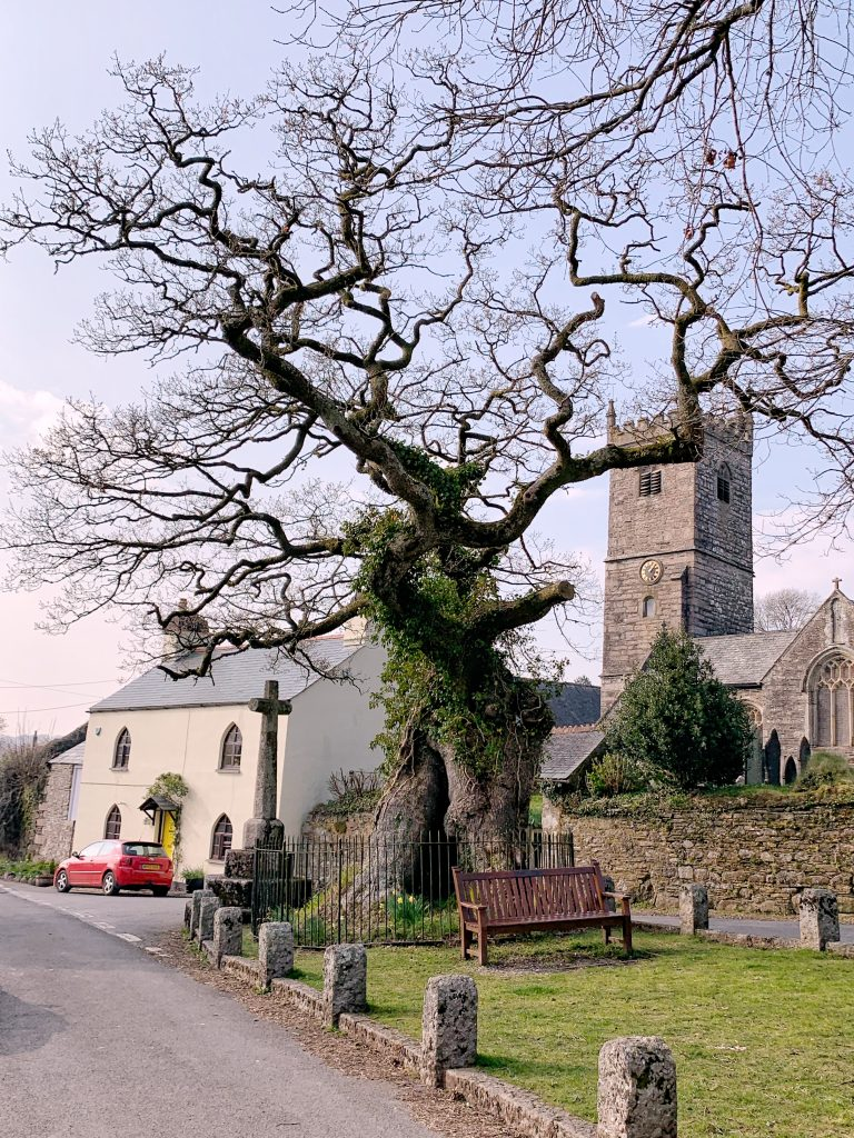 View of ancient oak tree and village church at Meavy in Devon