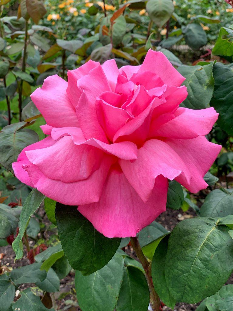 Rosa 'Prima Ballerina'