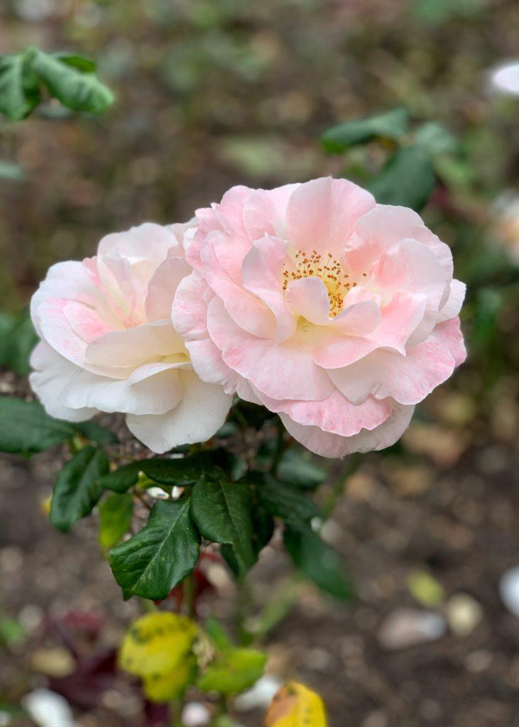 Rosa 'English Miss'