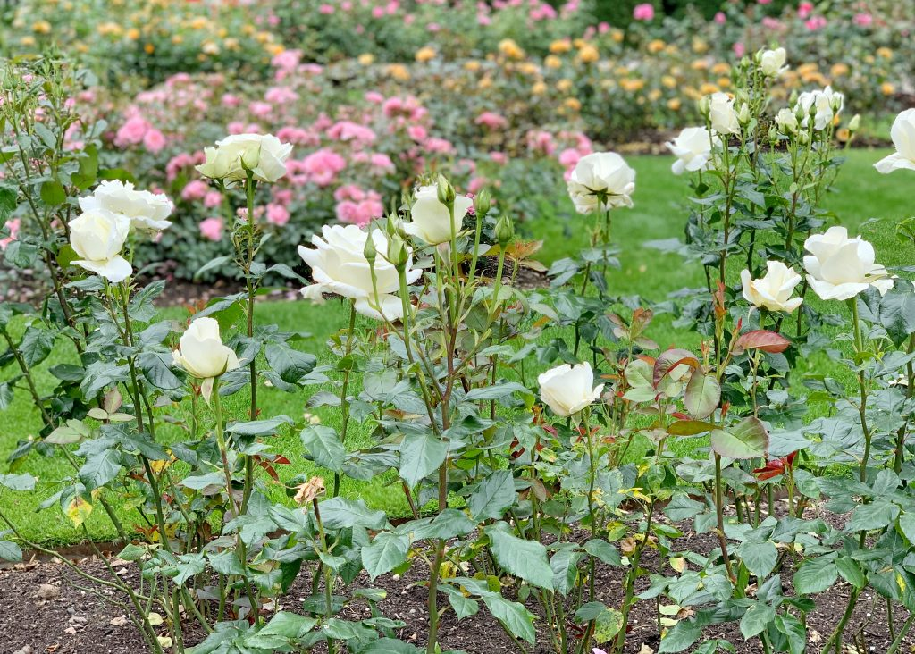 Roses at Castle Drogo