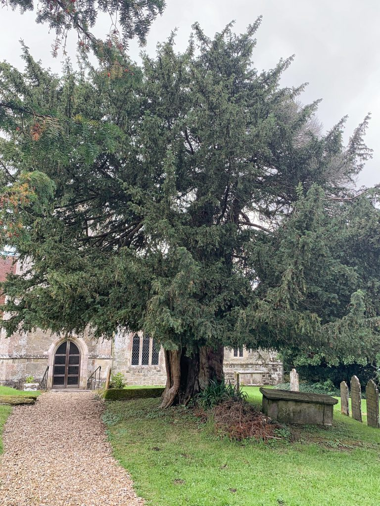 Old Yew tree at Compton Chamberlayne Church in Wiltshire