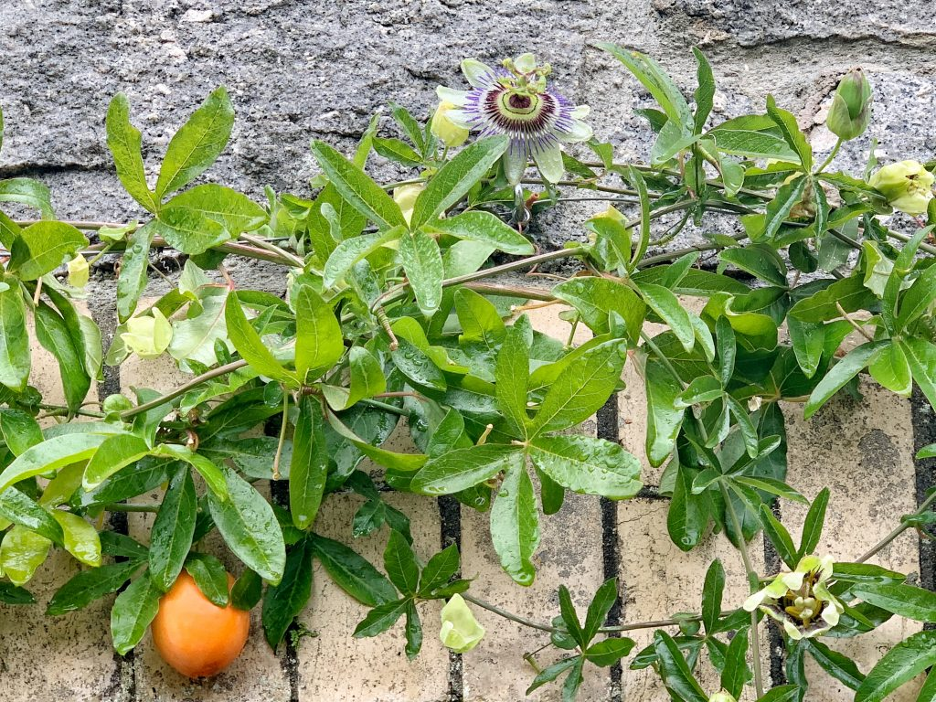 Passiflora Caerulea vine fruiting in Britain