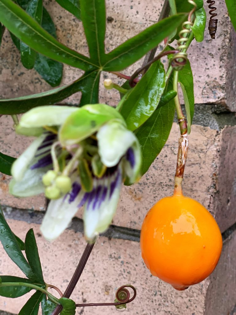 Passionflower fruit and flower