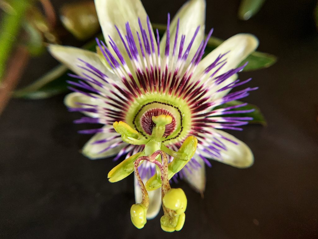 Passiflora Caerulea/ Blue Passion Flower