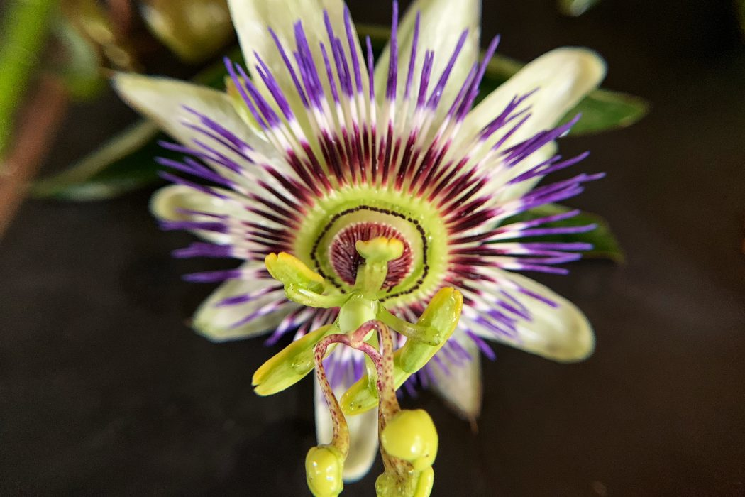 A Guide to the Blue Passion Flower/ Passiflora Caerulea