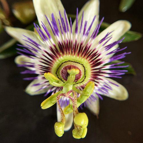 Passiflora Caerulea/ Blue Passion Flower