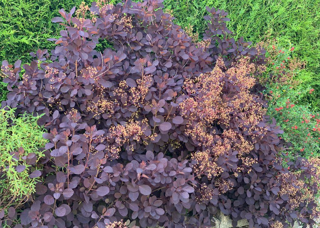 Cotinus coggygria shrub