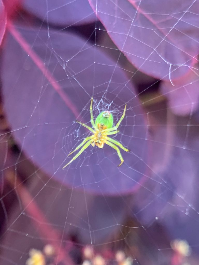 Green spider and its web on Cotinus shrub