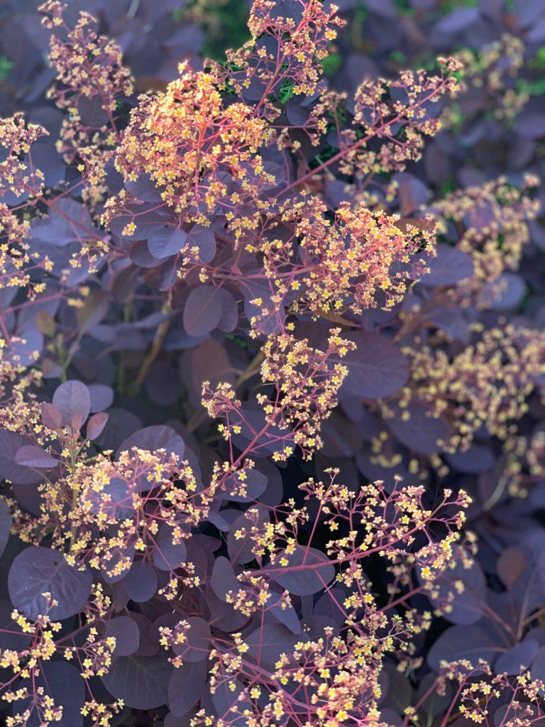 Cotinus coggygria in flower