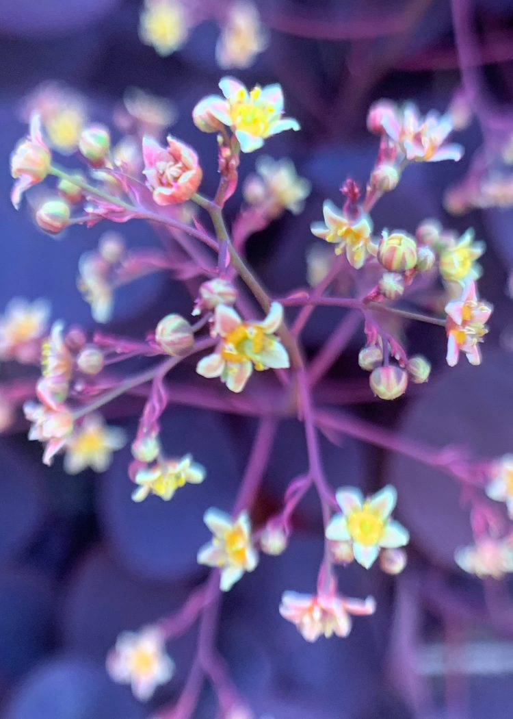 Flowers of Cotinus Coggygria