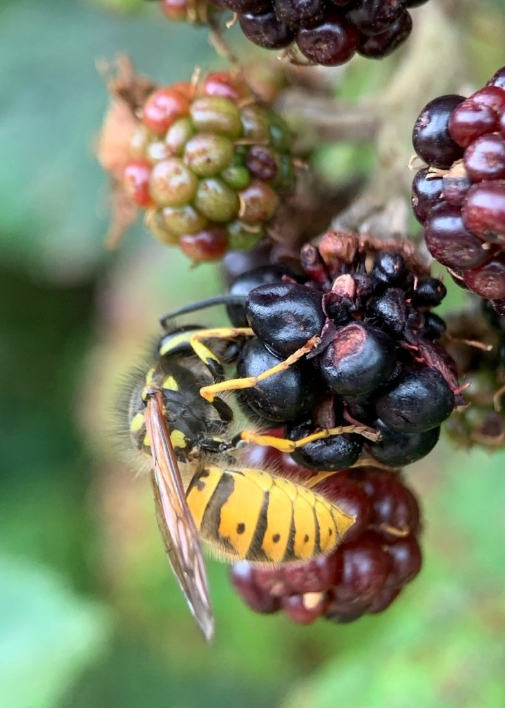 Wasp feeding on a ripe blackberry