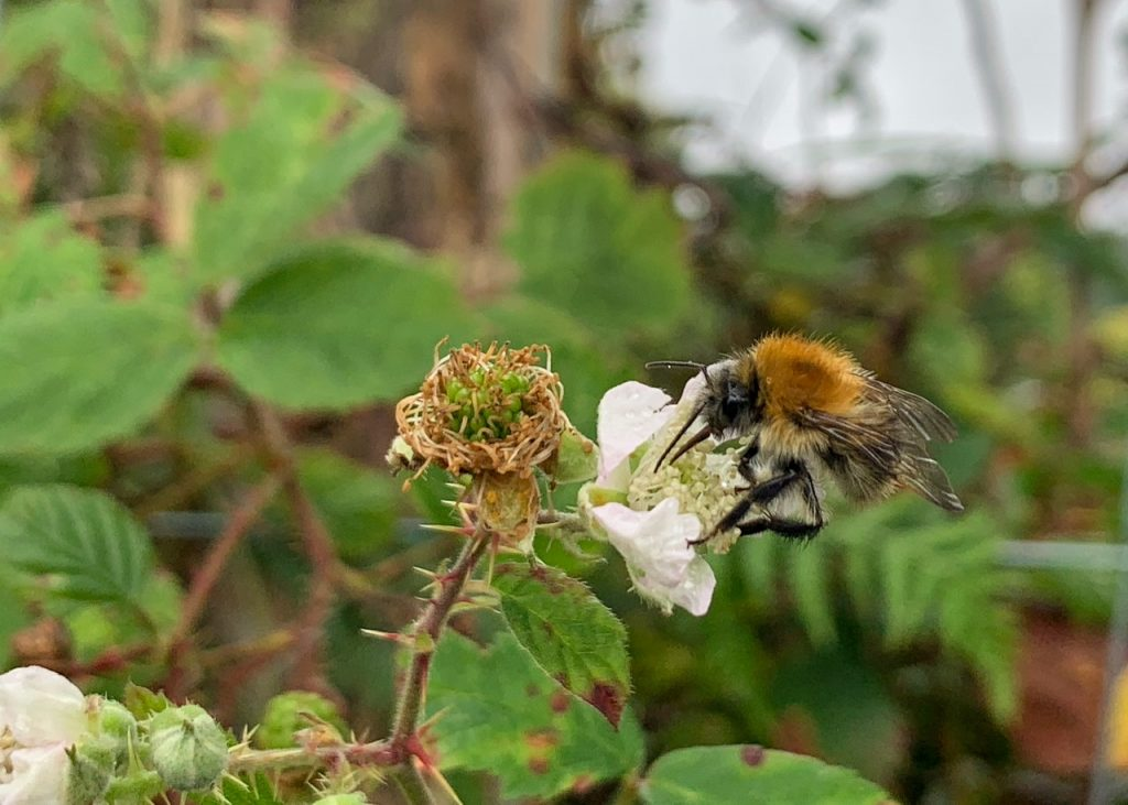 Bee drinking nectar from Blackberry flower