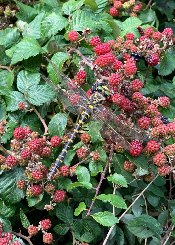 Dragonfly on blackberry bush