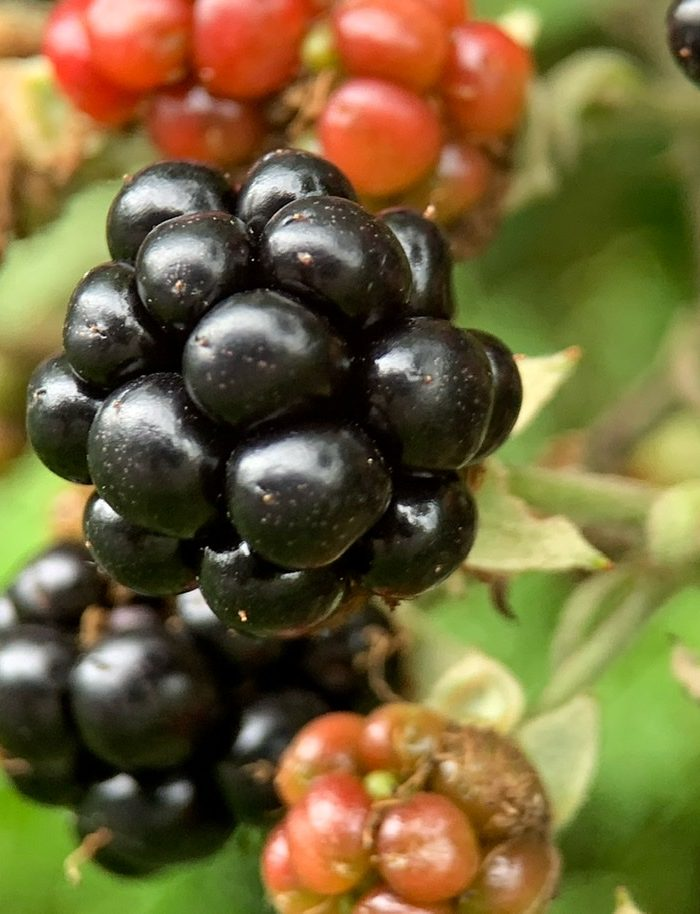 The Wild  Blackberry – An Underrated Late Summer Fruit
