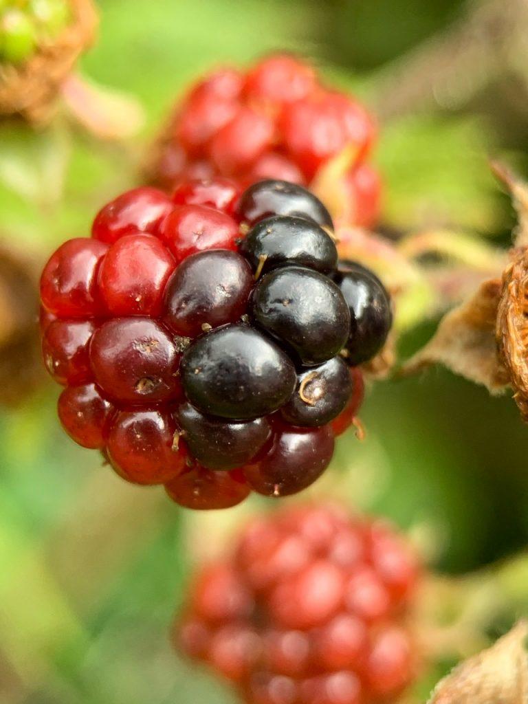 Fruit of Rubus fruticosus