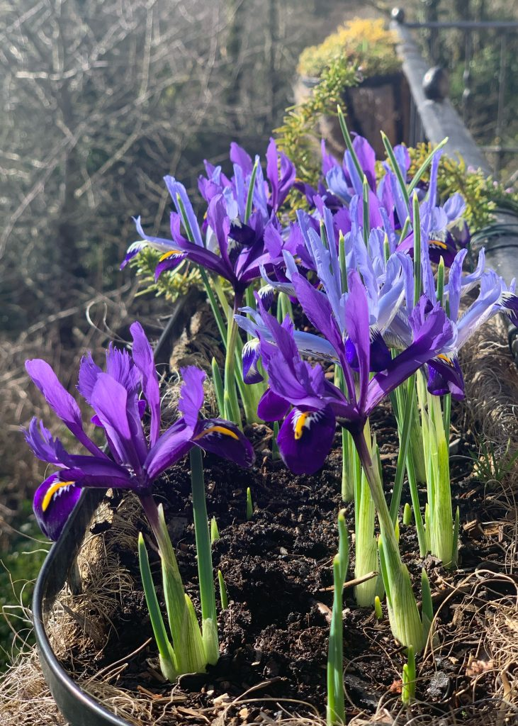 Dwarf Iris 'Clairette' and 'Pixie' in a balcony container