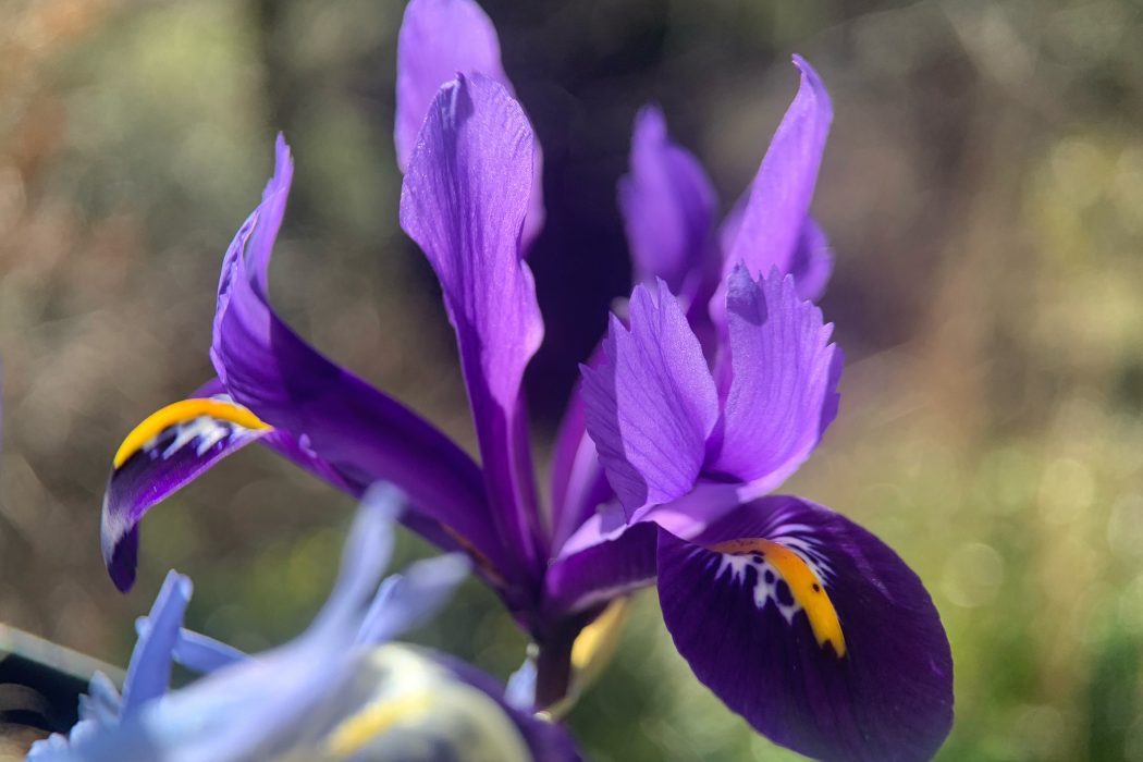 Iris Reticulata – This Dwarf Iris is the Harbringer of Spring