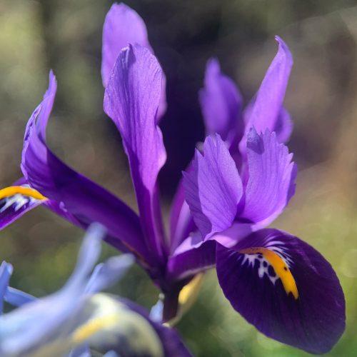 Detail of Dwarf Iris flowerhead