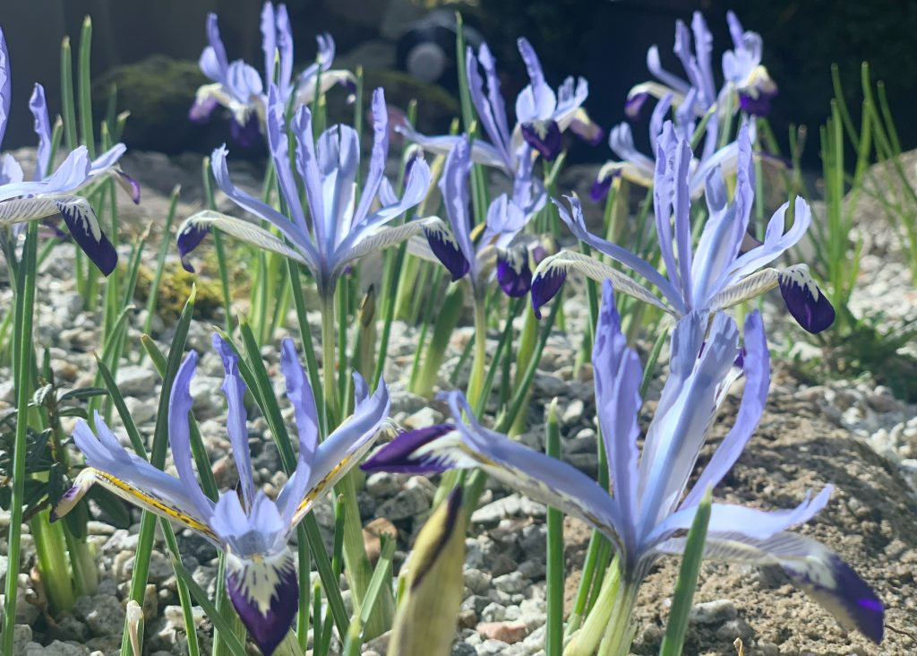 Dwarf Iris 'clairette' growing in a rockery